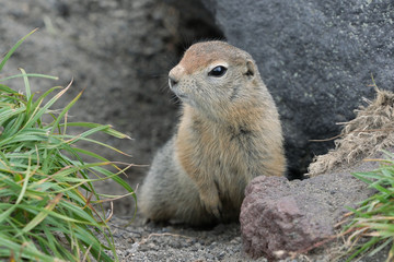 Curious but cautious wild animal Arctic ground squirrel peeps out of hole under stone and looking around so as not to fall into jaws of predatory beasts. Kamchatka Peninsula, Russian Far East, Asia Wall mural