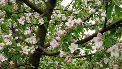 Wall Mural - Blooming apple tree close up in spring time