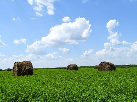 Haystacks rolled up in bales of alfalfa