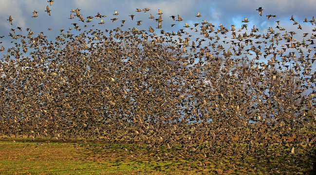 A giant flock of common starlings in flight