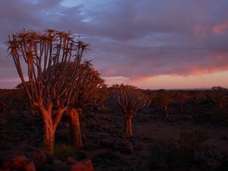 Papiers peints Marron Forêt Quiver Tree Keetmanshoop Namibie