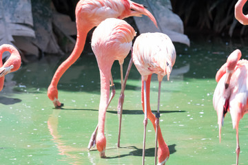 Printed kitchen splashbacks Flamingo The pink Caribbean flamingo ( Phoenicopterus ruber ruber ) goes on water. Pink flamingo goes on a swamp.