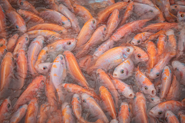 Close-up of fish from a local fish farm on the Mekong Delta