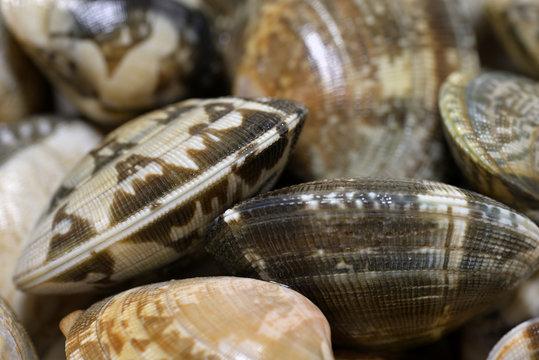 Japanese littleneck clam, Manila clam, Closeup