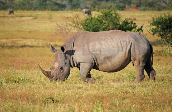 White rhino in South Africa