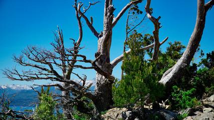 Dried tree on Camapanario Hill, San Carlos de Bariloche, Rio Negro, Argentina. Andes Mountains in the back.