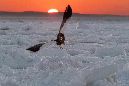 Steller's sea eagle flying above a frozen sea