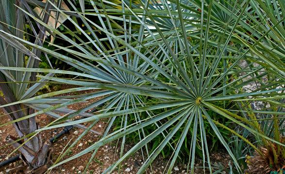Chamaerops humilis 'Cerifera'  in a dry mediterranean garden
