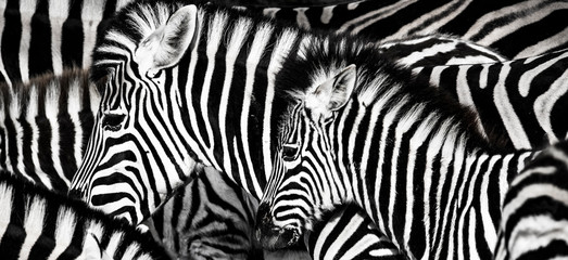 Foto auf Leinwand Zebra background which the structure of hide of zebra is represented on