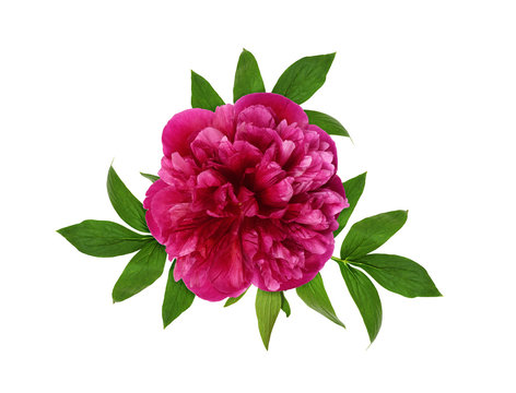 Pink peony flower and leaves