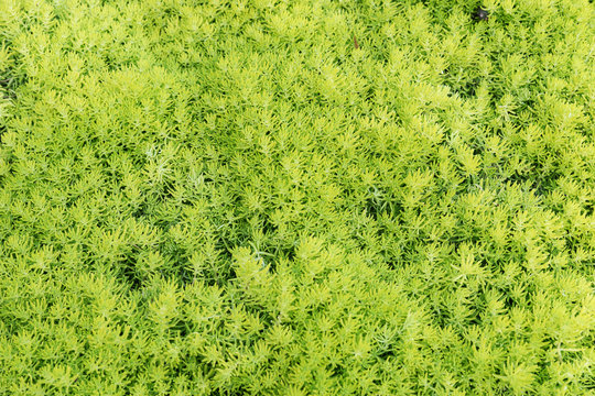 Background from a succulent sedum moss. Beautiful green ground cover plant
