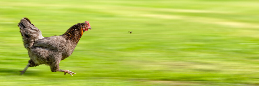 Free-range Hen Chasing a Flying Insect