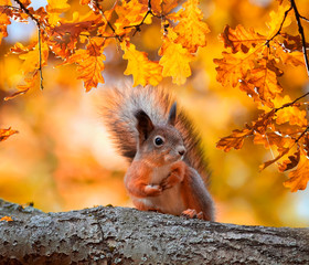 Poster Eekhoorn cute portrait with beautiful fluffy red squirrel sitting in autumn Park on a tree oak with bright Golden foliage