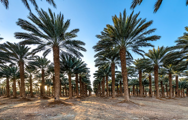 Plantation of date palms, Middle East, agriculture industry in desert areas