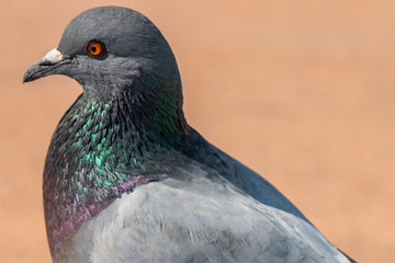 portrait of a pigeon Fotomurales