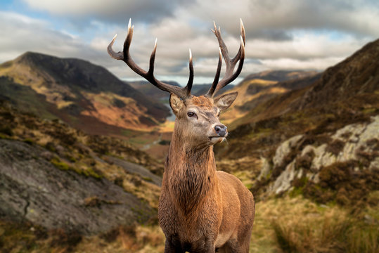 Majestic Autumn Fall landscape of red deer stag in front of mountain landscape in background
