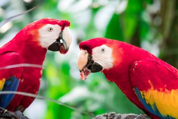 Foto op Aluminium Papegaai A couple of Scarlett Macaw bird parrot eating