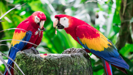 A couple of Scarlett Macaw bird parrot eating