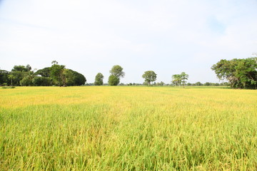 Foto op Aluminium Zwavel geel The beautiful landscape of rice fields in Thailand.