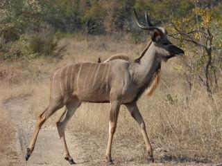 Wall Murals Antelope Antilope