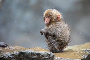 The Japanese macaque, also known as the snow monkey