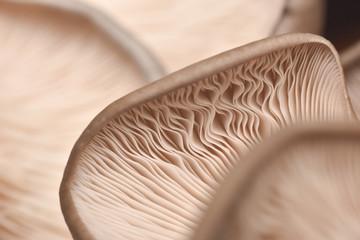 Close up of mushroom gills. Abstract nature background, macro shot of oyster mushroom gills
