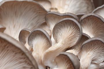 Fresh oyster mushrooms. (Pleurotus ostreatus). Vegetarian food, healthy mushroom close up