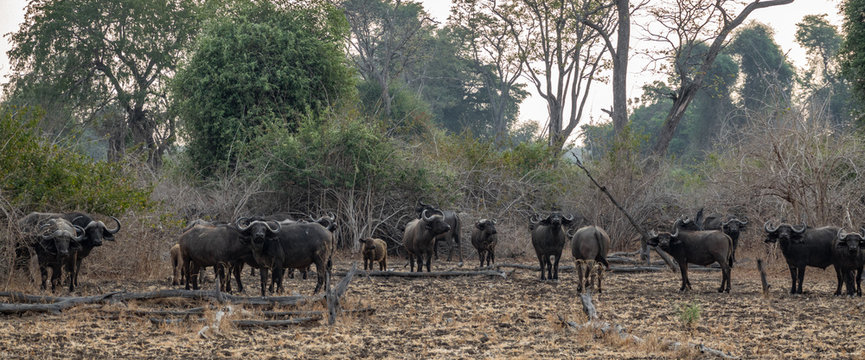 Large group of buffaloes panorama in the wild
