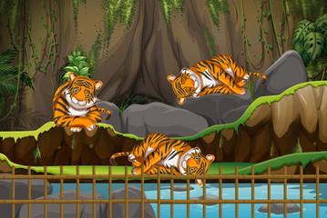 Photo sur Aluminium Jeunes enfants Scene with tigers in the zoo