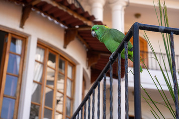 A green parrot staying in a railing. An exotic kind of bird from Bluefields, Nicaragua, central America, showing in a luxury 5 stars hotel. A tropical destination for vacation or holiday.
