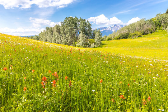 Lush meadow with indian paintbrush flowers, trees and snow covered mountains in the back.
