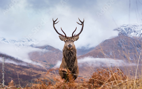 Wall mural Monarch Of The Glen