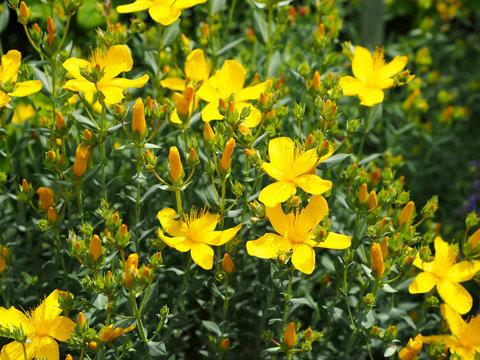 St Johns Wort flowers in meadow