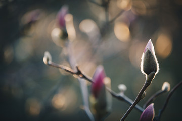 closeup magnolia flower. natural floral spring or summer background with soft focus and blur  Fotobehang