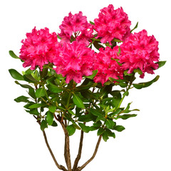 Pink flower of rhododendron bush isolated on white background. Flat lay, top view. Object, studio, floral pattern