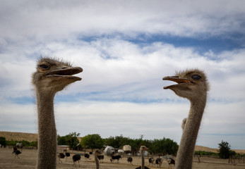 Poster Struisvogel Ostriches looking at each other