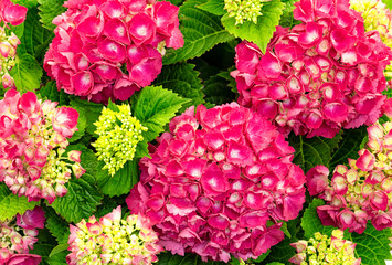 closeup from above of fresh and colorful hydrangea plant