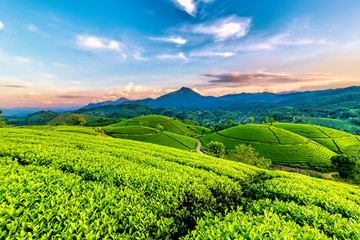 Fototapeten Lime grun Overview of Long Coc green tea hill, Phu Tho, Vietnam.