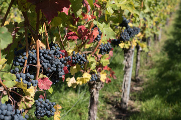 Wall Murals Vineyard South Germany Wine ripe for being picked