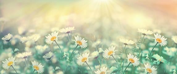 Selective and soft focus on daisy flower, daisy flower lit by sun rays - sunbeams