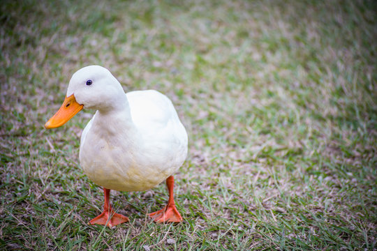 close up of white duck