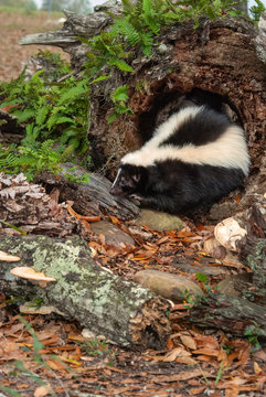A skunk crawls through  a hollow log while foraging for food surrounded by ferns and fungi.