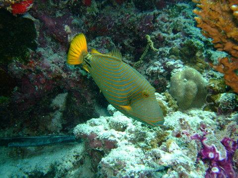 Female orangestriped triggerfish (Balistapus undulatus), Maldives