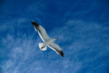 Flying seagull with blue sky and clouds on the background