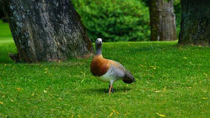 Patagonian ashy-headed goose