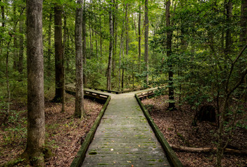 Fototapeta Concept of decision or choice using a wooden boardwalk in dense forest in Great Dismal Swamp obraz