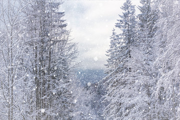 Aluminium Prints Dark grey Winter landscape - view of the snowy trees in the winter mountain forest after snowfall