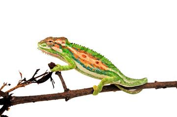 Poster Kameleon Cape dwarf chameleon / Buntes Zwergchamäleon (Bradypodion pumilum)