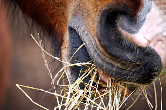 Closeup of a horse grazing on hay showing his mouth in detail