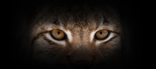 Photo sur Toile Lynx Lynx portrait on a black background